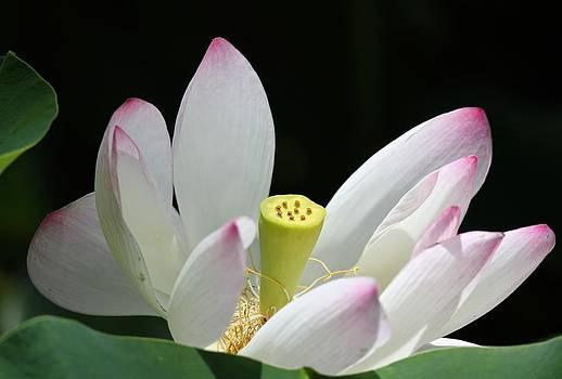 Open Lotus by Bonita Hensley