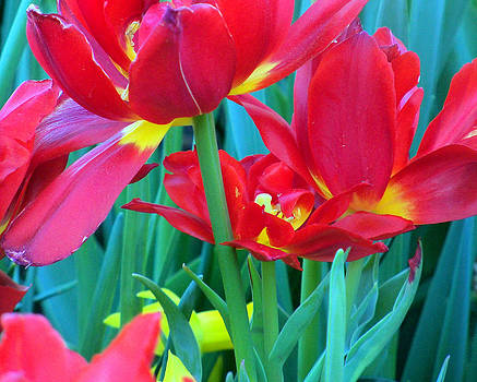 Open Red Tulips by Jessica st Lewis