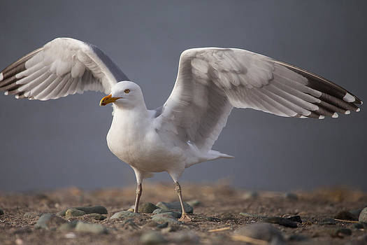 Karol Livote - Open Wings