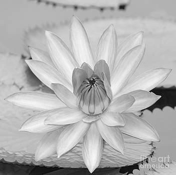 Sabrina L Ryan - Opened Water Lily in Black and White #12
