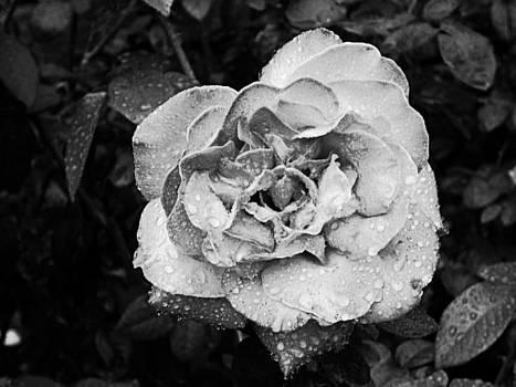 Opening Blossom by Sarah E Kohara