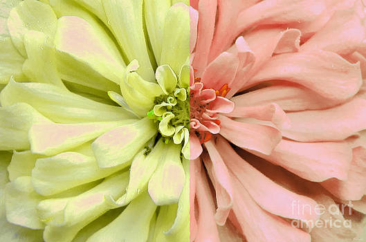 Opposites Attract Dahlia by Kathie McCurdy