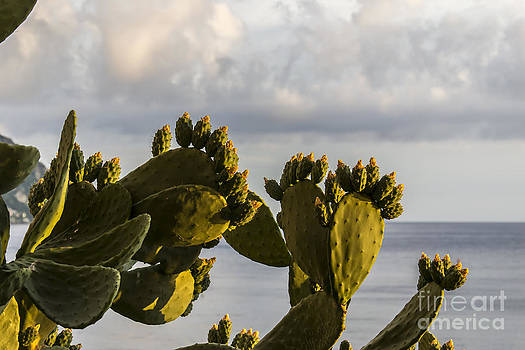 Opuntia Ficus-indica by Stefano Piccini
