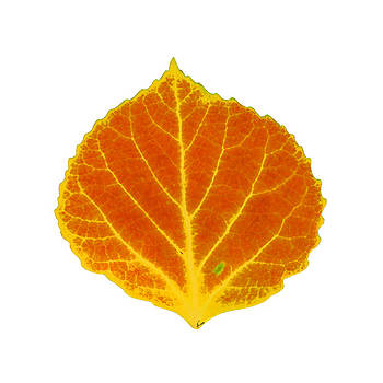 Orange and Yellow Aspen Leaf 1 by Agustin Goba