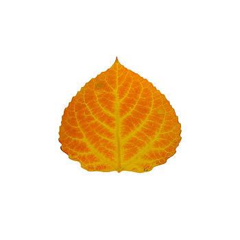 Orange and Yellow Aspen Leaf 2 by Agustin Goba