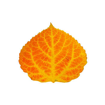 Orange and Yellow Aspen Leaf 3 by Agustin Goba