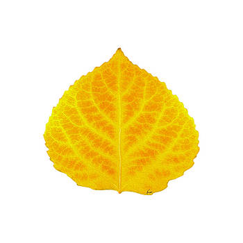 Orange and Yellow Aspen Leaf 4 by Agustin Goba