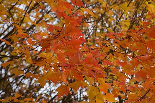 John Clark - Orange and Yellow Maple Leaves