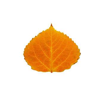Orange Aspen Leaf 1 by Agustin Goba