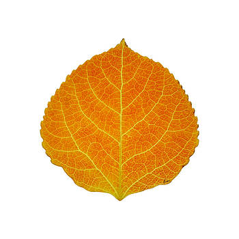 Orange Aspen Leaf 2 by Agustin Goba