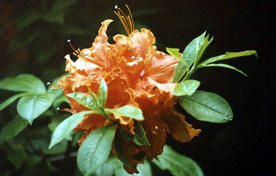 Stephen Proper Gredler - Orange Azalea