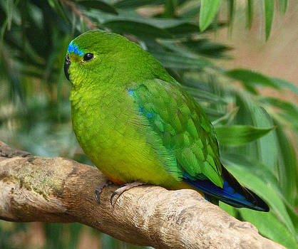 Margaret Saheed - Orange-bellied Parrot 2