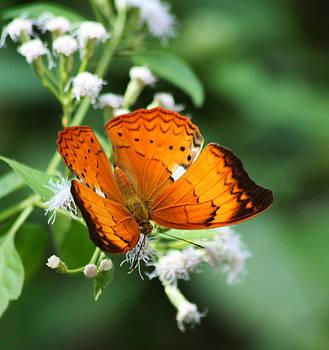 Orange Butterfly  by Backyard Civilization