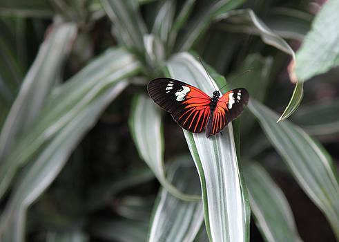 Orange Butterfly by Denise Rafkind