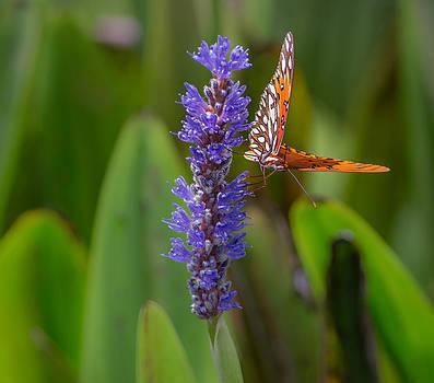 Orange Butterfly on Purple by Andrea  OConnell