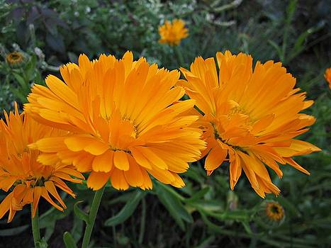 MTBobbins Photography - Orange Calendula