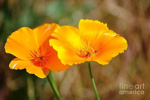 Orange California Poppies by P S