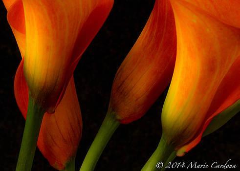 Orange Calla Lilies by Marie  Cardona