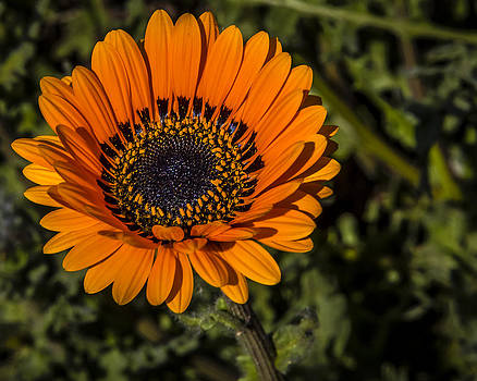 Orange Cape Daisy by Gerald Murray Photography