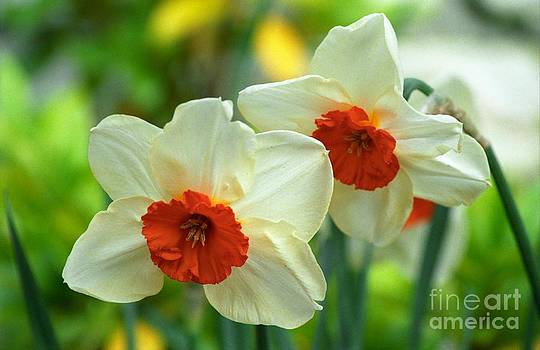 Orange Cupped Daffodils by James B Toy