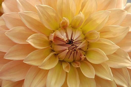 Orange Dahlia closeup by Matthias Hauser