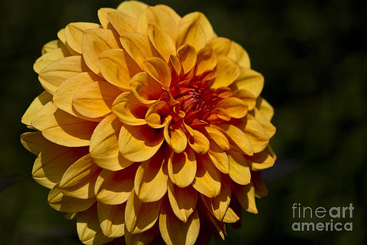 Orange Dahlia by Michelle Orai