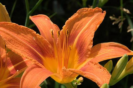 Valerie Kirkwood - Orange Day Lily 2
