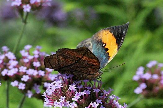 Rosanne Jordan - Orange Dead Leaf Butterfly
