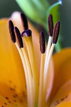 Orange Dream Lily by Dana Moyer