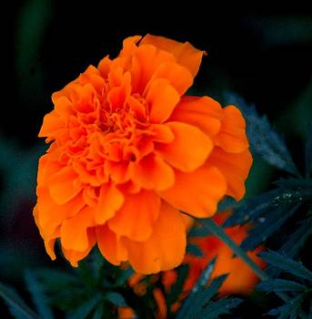 Orange Flower by Terence Brockett