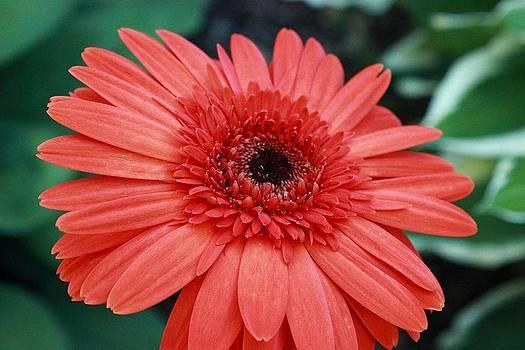 Orange Gerbera Daisy by Tammy Franck