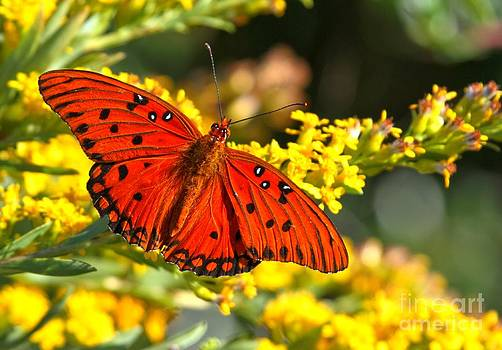 Adam Jewell - Orange Gulf Fritillary