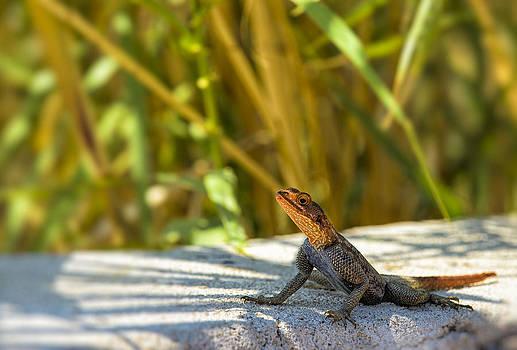 Paul W Sharpe Aka Wizard of Wonders - Orange Headed Lizard