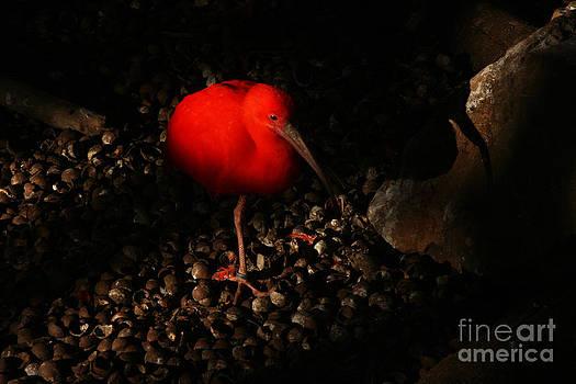 Orange Ibis by Jasper Van Vessem