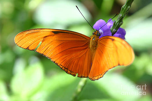 Alyce Taylor - Orange Julia Butterfly