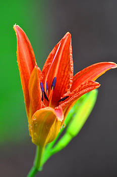 Orange Lily in the Morning by Peter  McIntosh