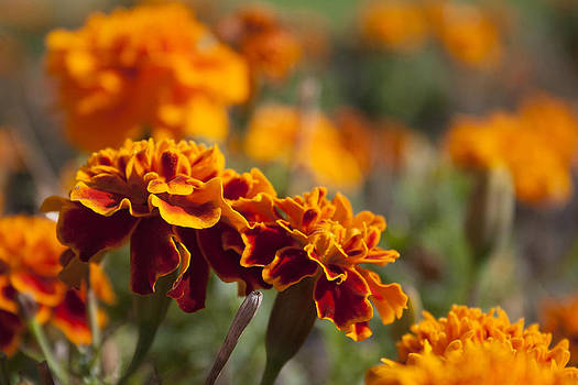 Orange Marigolds by Sarah Yost