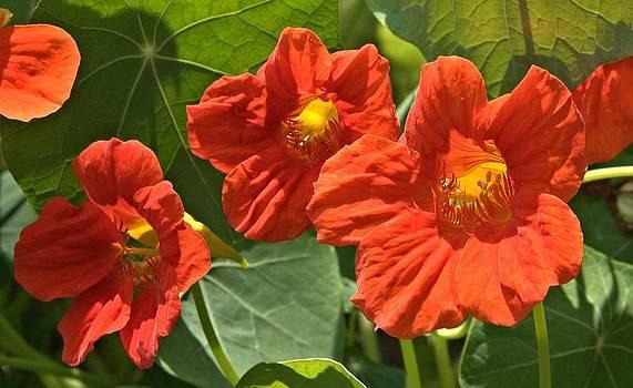 Valerie Kirkwood - Orange Nasturtiums