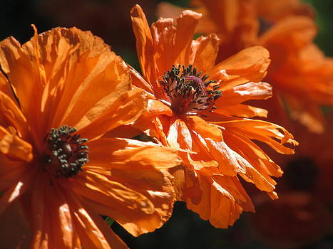 Alfred Ng - orange poppies