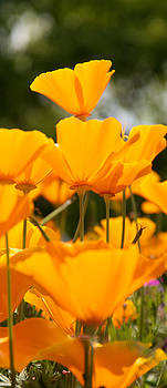 Orange Poppies on Top by WDM Gallery