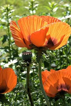 Valerie Kirkwood - Orange Poppies