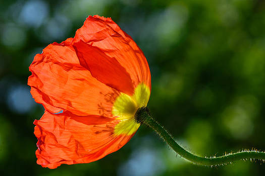 Orange Poppy Flower by Dheeraj Mallemala