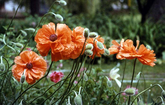 Stephen Proper Gredler - Orange Poppy