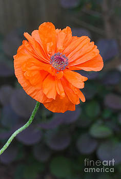 Orange Poppy by Steve Augustin