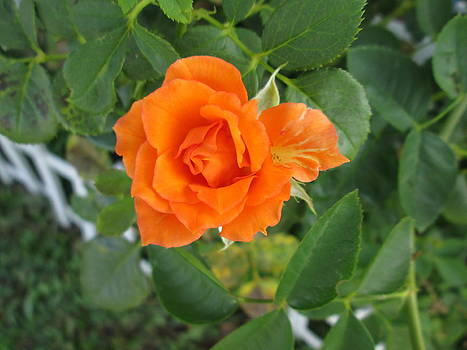 Orange Rose by Rosalie Klidies