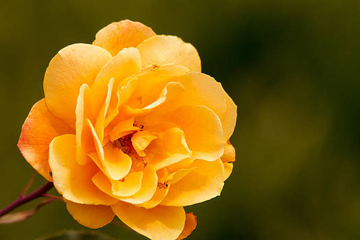 Orange Rose by Wayne Stabnaw