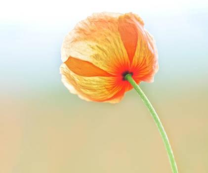 Lara Ellis - Orange Sherbert Poppy