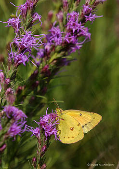 Orange Sulphur on Liatris Punctata by Bruce Morrison