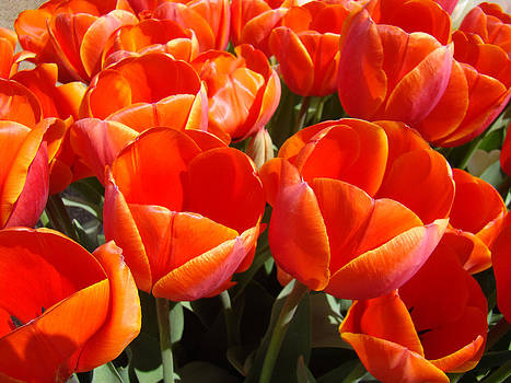 Baslee Troutman - Orange Spring Tulip Flowers Art Prints