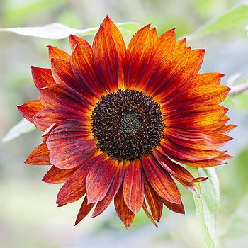 Orange Sunflower by Matthew Bruce